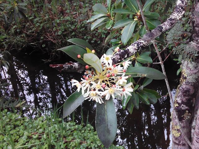 Flor de canelo, Lago Negro, Parque Pumalín, Chile