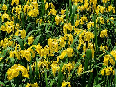 Kishobu (Iris pseudacorus L.) flowers: Ofuna Botanical Garden (Kamakura)