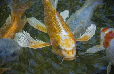 Gambar ikan koi slayer