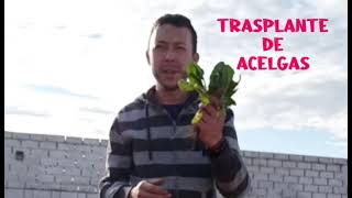 Trasplante de Acelgas (Video)
