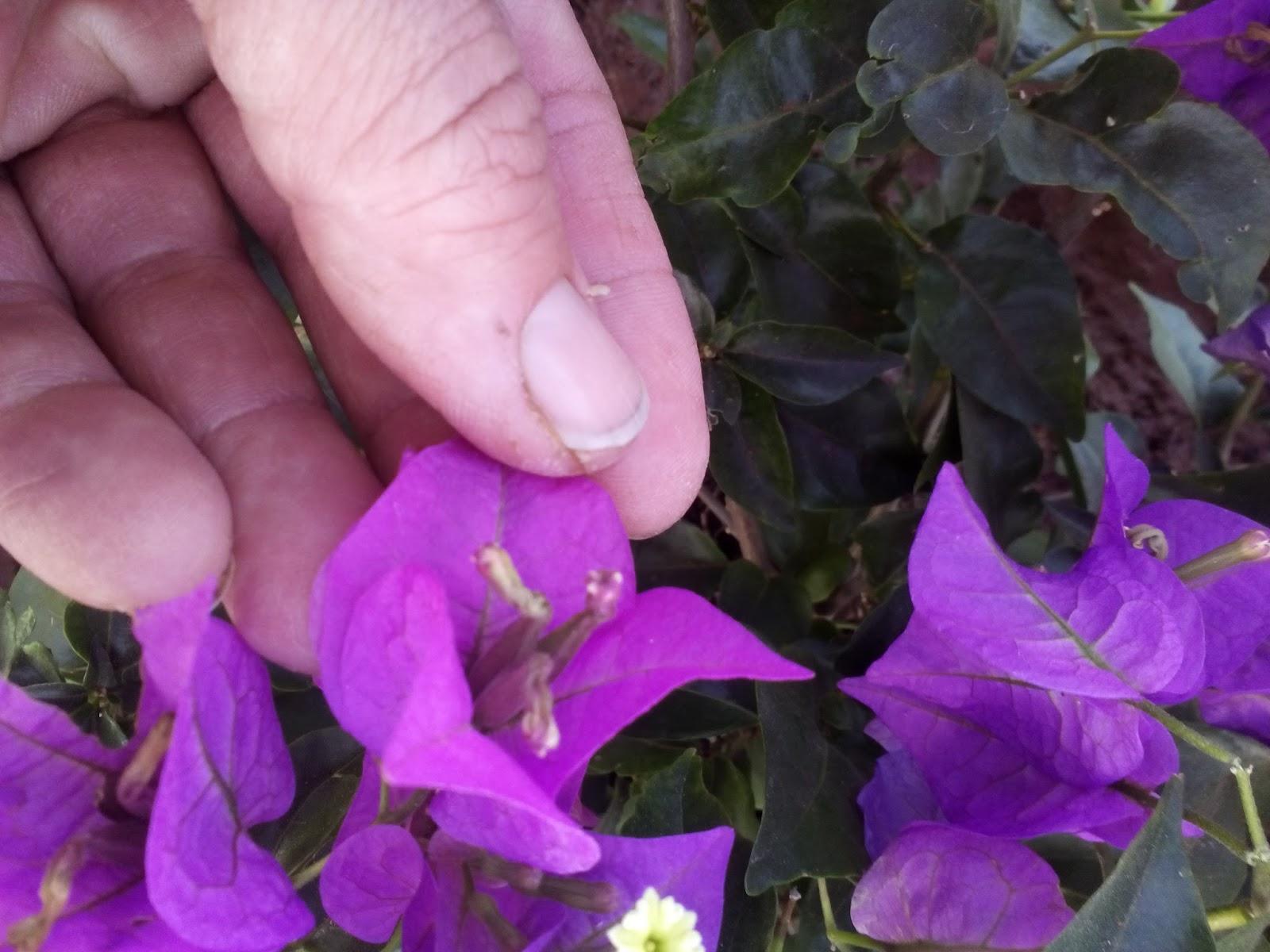 Cultivar el Huerto Casero.: Plantando Buganvilla. El Huerto colorido.