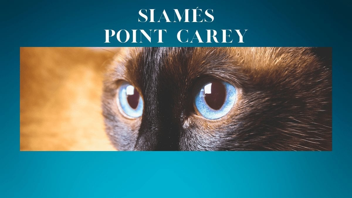 Siamés Point Carey (o Tortie)