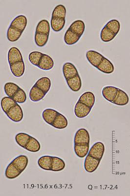 Didymosphaeria oblitescens