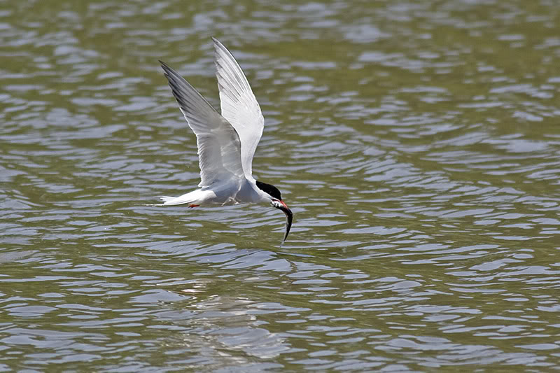 Picture of a common tern.