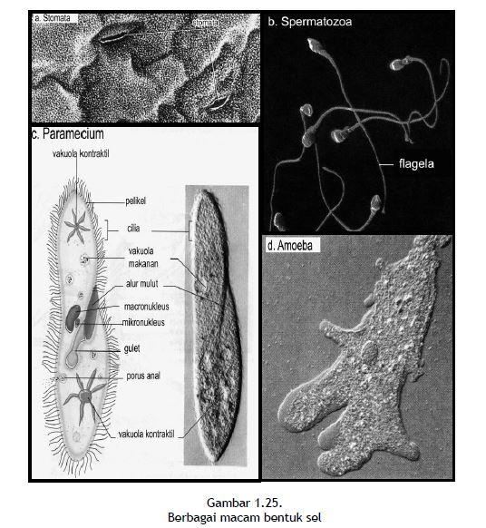 Berbagai macam bentuk sel