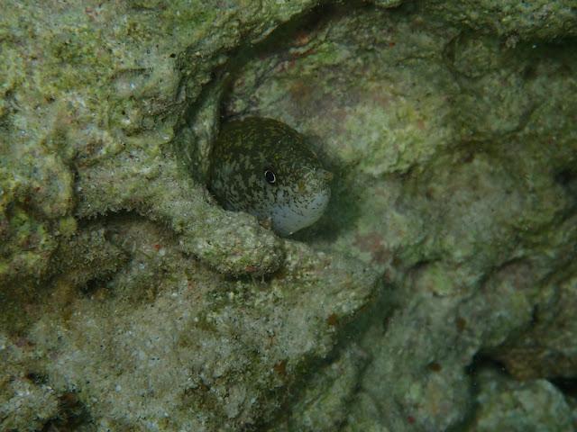 Uropterygius macrocephalus