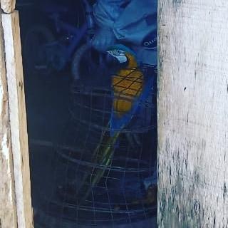 No local, os policiais militares foram recebidos pela proprietária de um sítio, que franqueou a entrada para fiscalização, onde foi localizada uma ave da fauna silvestre da espécie Arara-canindé, que encontra-se na lista de animais em extinção.