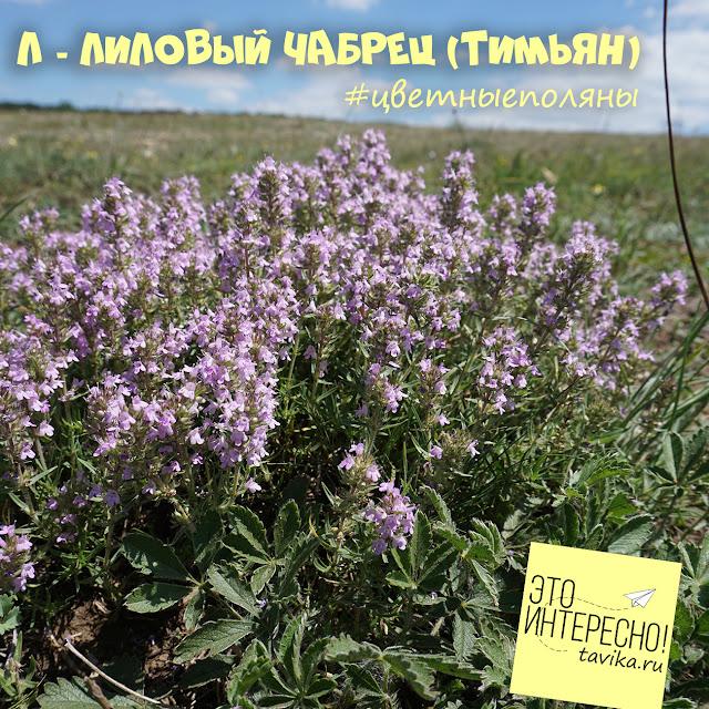 цветы чабреца. Крым