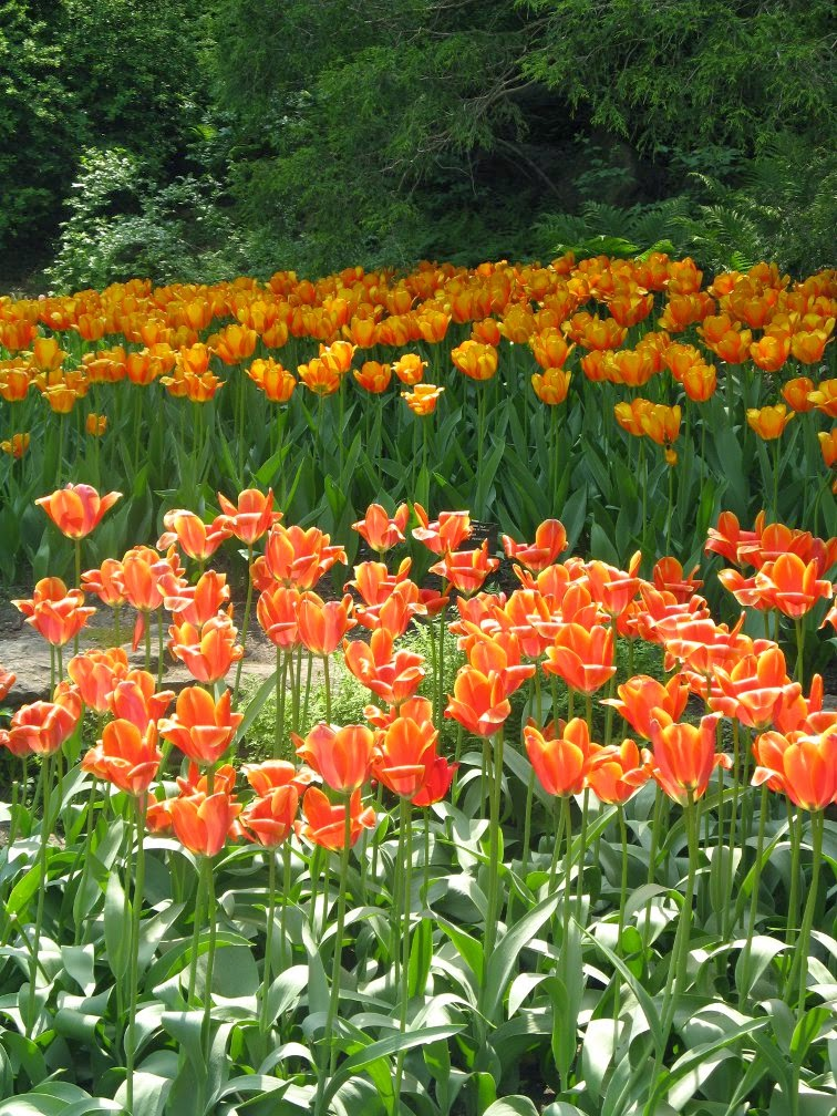 Royal Botanical Gardens orange tulips by garden muses-not another Toronto gardening blog