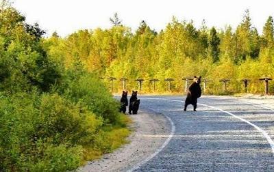 Familia de osos en la carretera