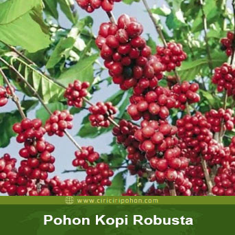 ciri ciri pohon kopi robusta