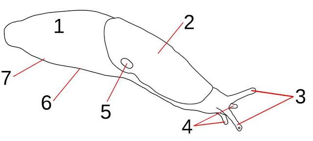 Esquema anatómico de una babosa, partes en las que se divide el cuerpo