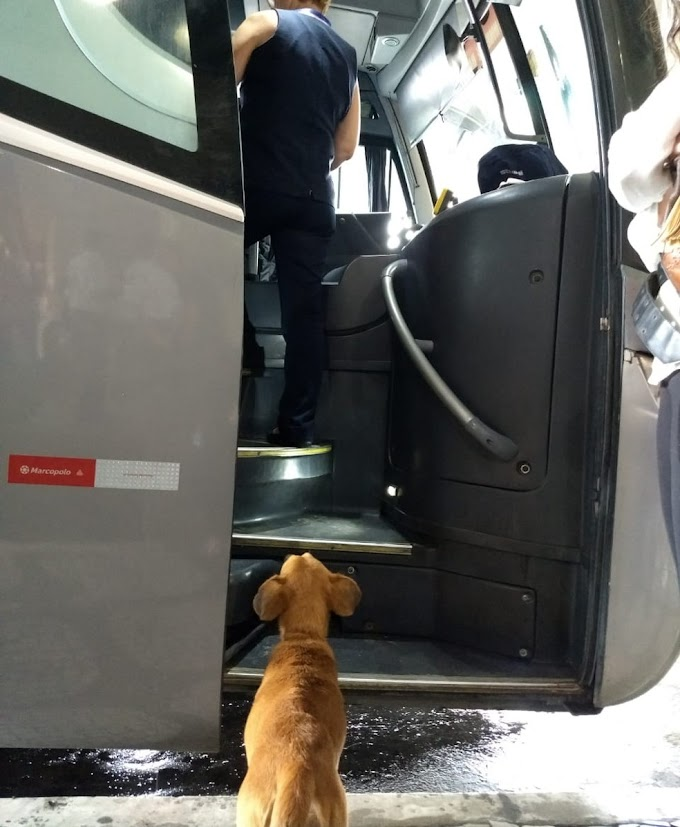 Abandonada na rodoviária de Santos, cadela procura pelos donos em ônibus que chegam ao local