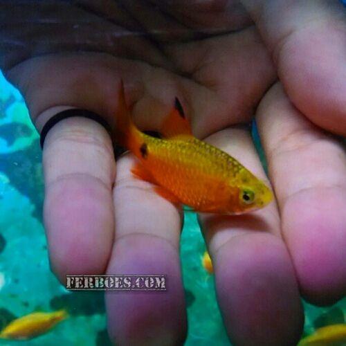cara membedakan ikan barbir jantan dan betina