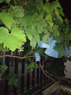 kebun anggur harold