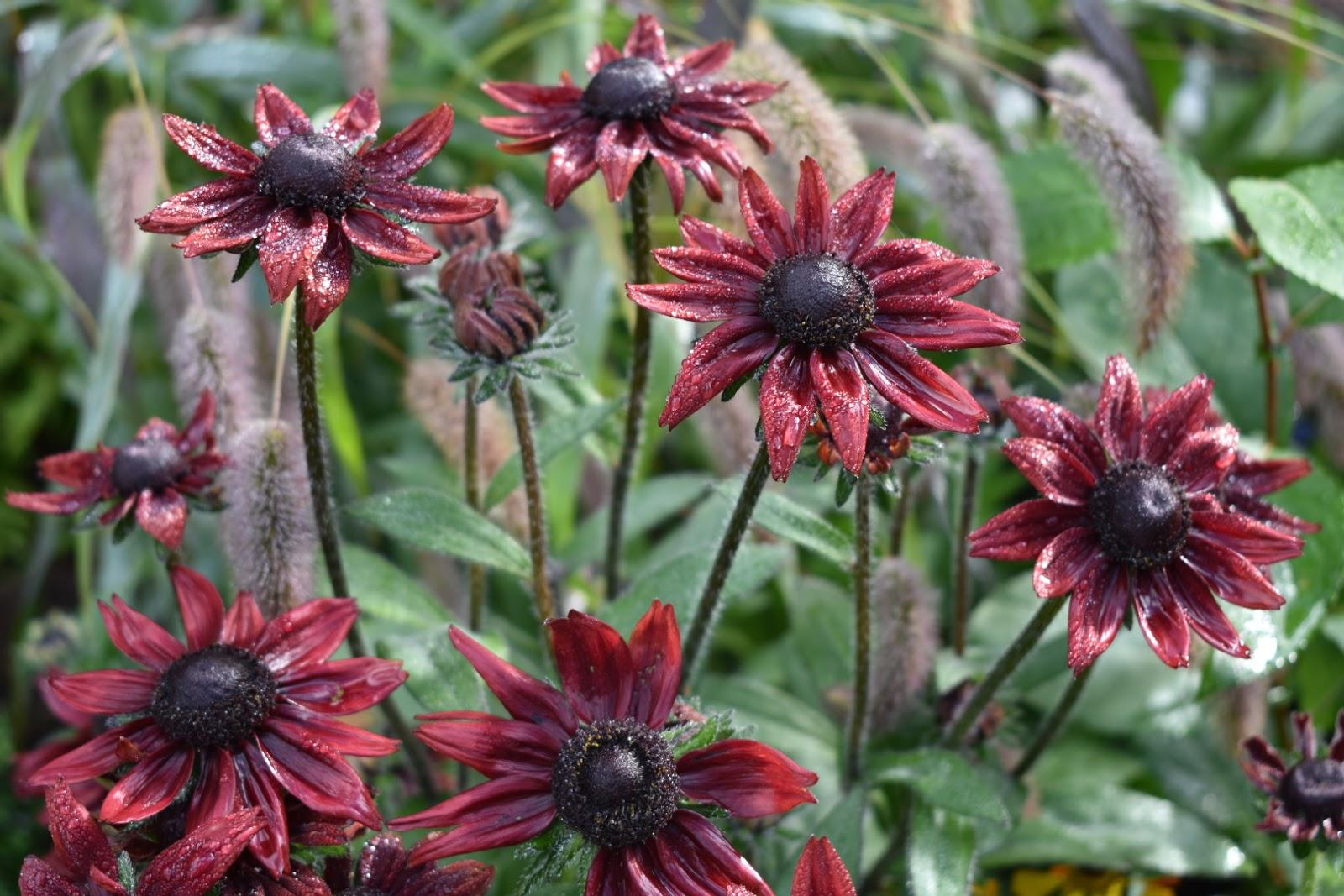 Rudbeckia hirta 'Cherry Brandy', Setaria Macrostachya 'Will Scarlet'