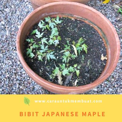 Bibit Japanese Maple