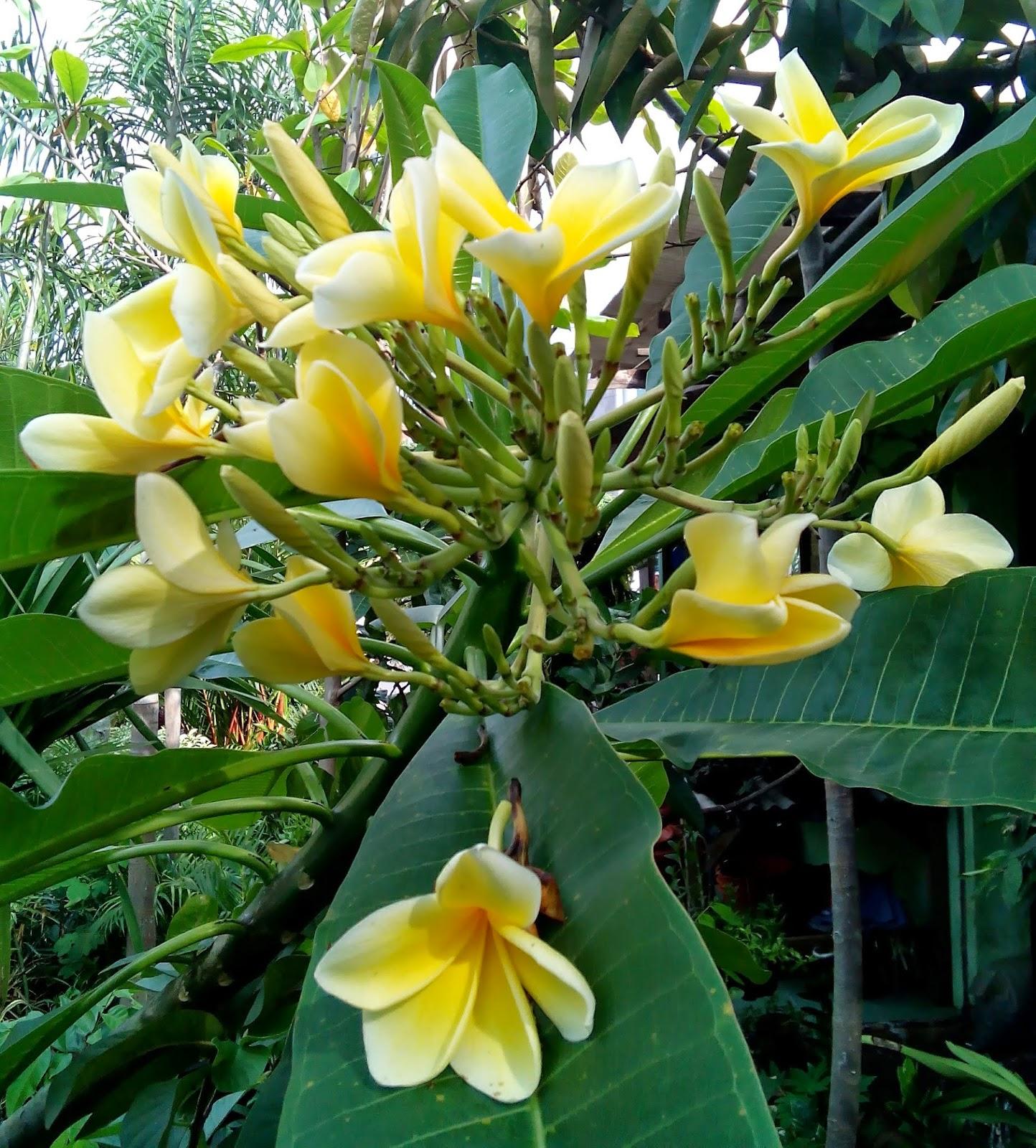 Indahnya Bunga Pohon Kamboja - Education Articles