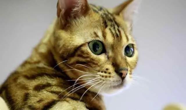 Les chats Bengal ont-ils une perte de cheveux