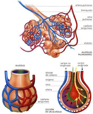alveolos-pulmonares