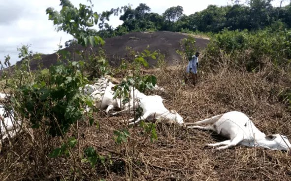 Customary rituals for 36 dairy animals killed by roar in Ondo starts today