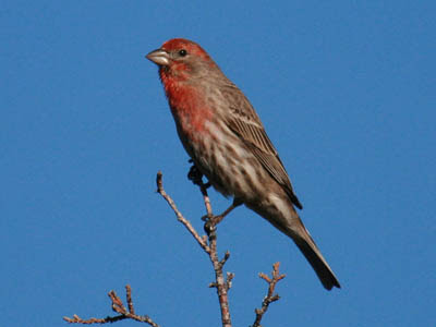 Photo of House Finch in tree top