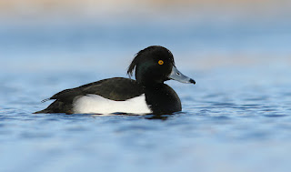 Tufted Duck, Adult male, Newfoundland