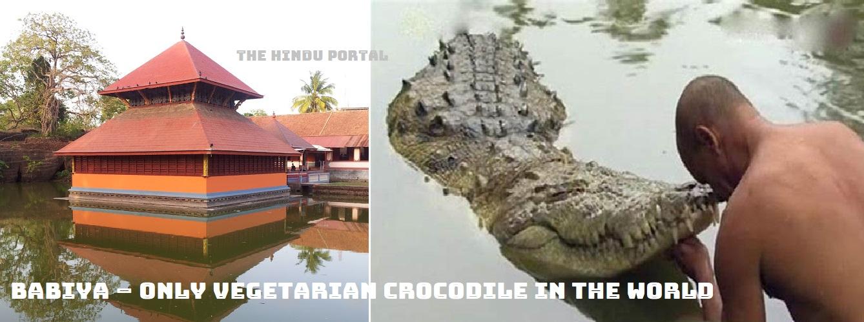 Babiya – Only Vegetarian Crocodile in the World