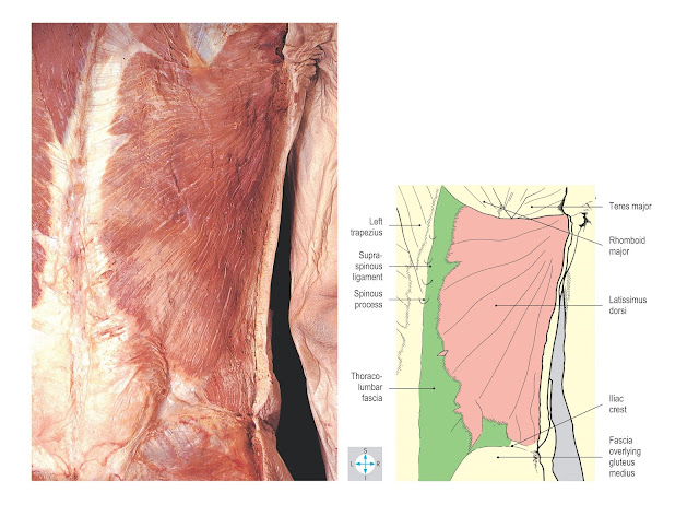 Latissimus dorsi. The anterior border lies parallel to the cut skin edge, and the thoracic attachment has been exposed by removal of trapezius.