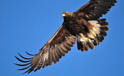 النسر الذهبي Golden Eagle