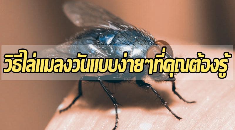 วิธีไล่แมลงวันแบบง่ายๆที่คุณต้องรู้