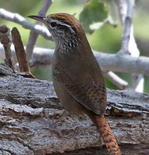 Suara Burung Sinaola Wren Yang Merdu Untuk Masteran