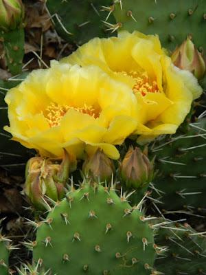 Garden muses-not another Toronto gardening blog--Toronto Riverdale Ecological Garden Eastern Prickly Pear Opuntia humifusa blooms