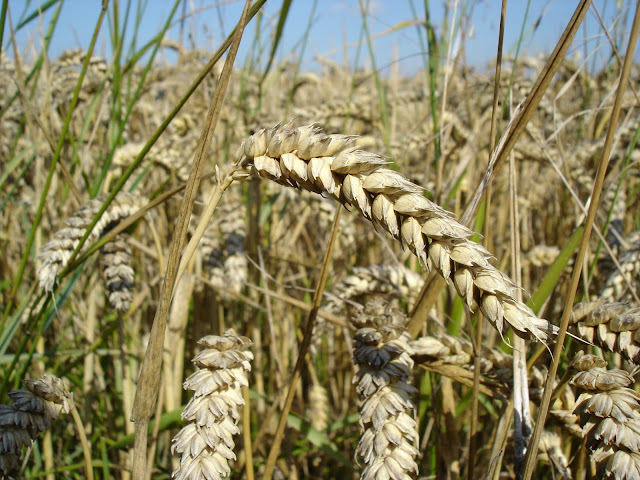 Domesticated wheat has complex parentage