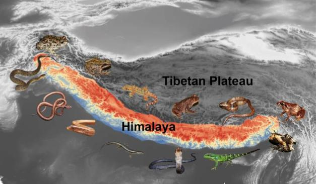 Tracking the Himalayan history from the evolution of hundreds of frogs, lizards and snakes