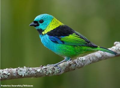 Saira de sete cores, aves do brasil, saira, observação de aves, ornitologia, birds, Green-headed Tanager, tangara, natureza, birdwatching