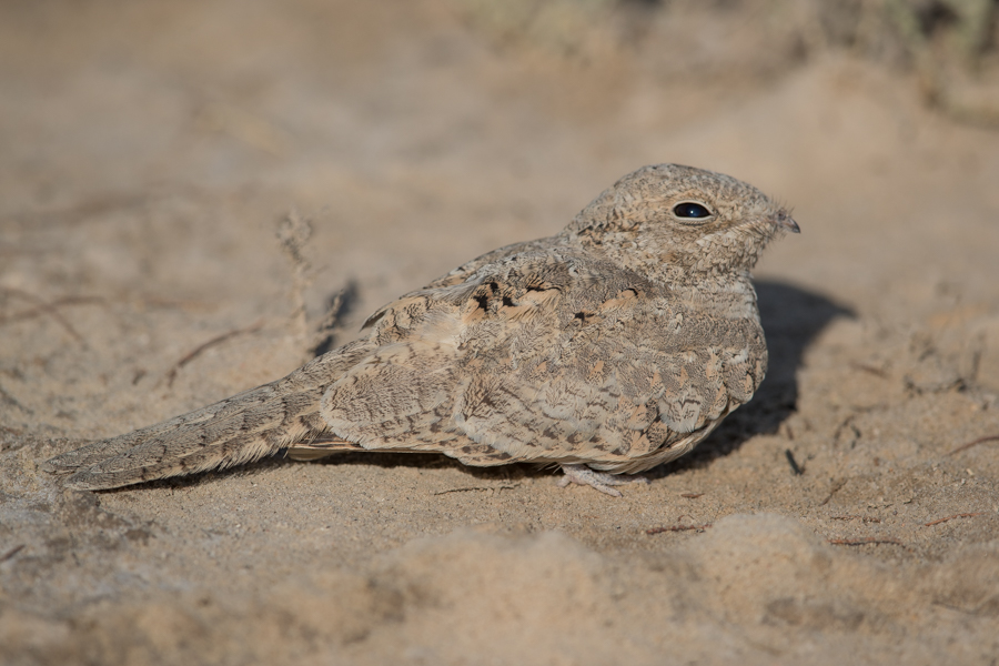 Juvenile Egyptian Nightjar