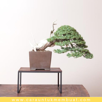 Bonsai Cemara Duri (Juniperus Rigida)