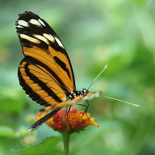 Heliconius ismenius - Oeil du tigre