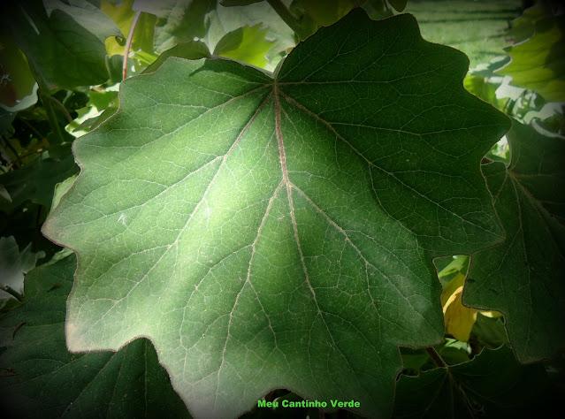 Folhas do Senecio petasites