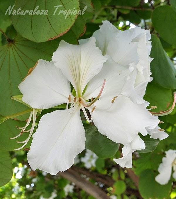 Variedad blanca de la flor del árbol orquídea, género Bauhinia