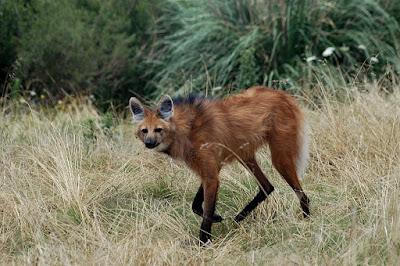 www.fertilmente.com.br - Um lobo guará flagrado em uma rara aparição