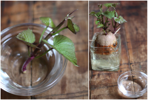 Read About How To Twist The Slips Off Main Potato And Get Them Prepared For Root Growth Right Here