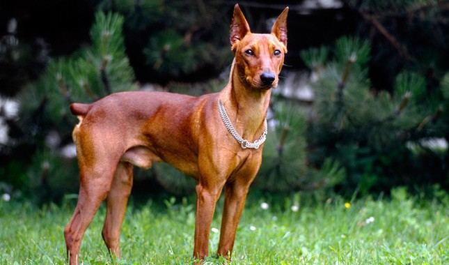 German-Pinscher-dog-breed