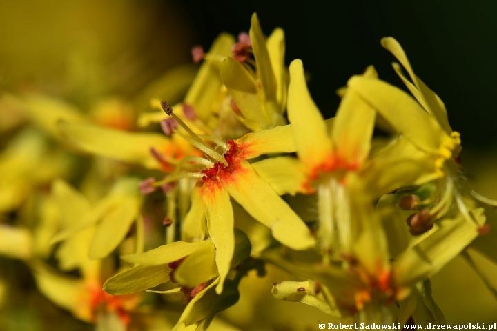Kwiaty - roztrzeplin wiechowaty