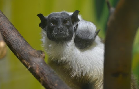 Csupaszpofájú tamarin született a Szegedi Vadasparkban