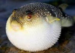 Salah satu karakteristik ikan buntal secara morfologi  Kabar Terbaru- MENGENAL IKAN BUNTAL