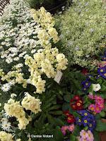Chamomile blooms, flower show - Kyoto Botanical Gardens, Japan