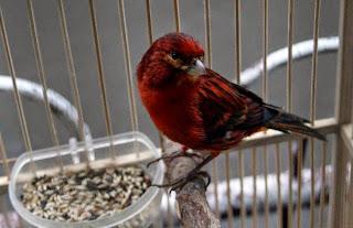 kenari black red
