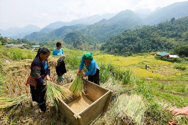 Rice Harvest And 10 Memorable Experiences in Sapa, Vietnam 2